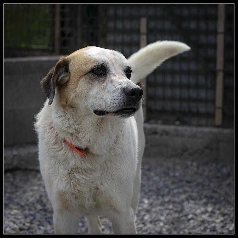 COCO - x patou 8 ans (5 ans de refuge)  Refuge de Digne les Bains (04) Refuge-chiens-coco-312