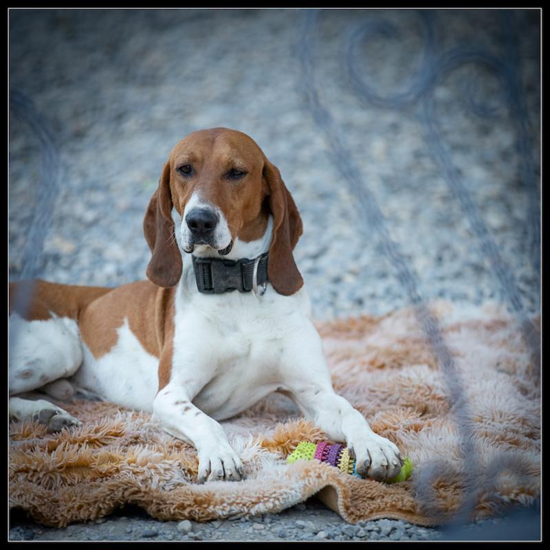 JAMES - x beagle 3 ans (3 ans de refuge)  - Refuge de Digne (04) Refuge-chiens-james-26