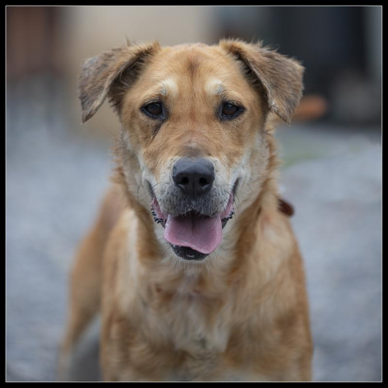 ROXANE - x epagneul/labrador 5 ans - Refuge de Digne les Bains (04) Refuge-chiens-roxane-367