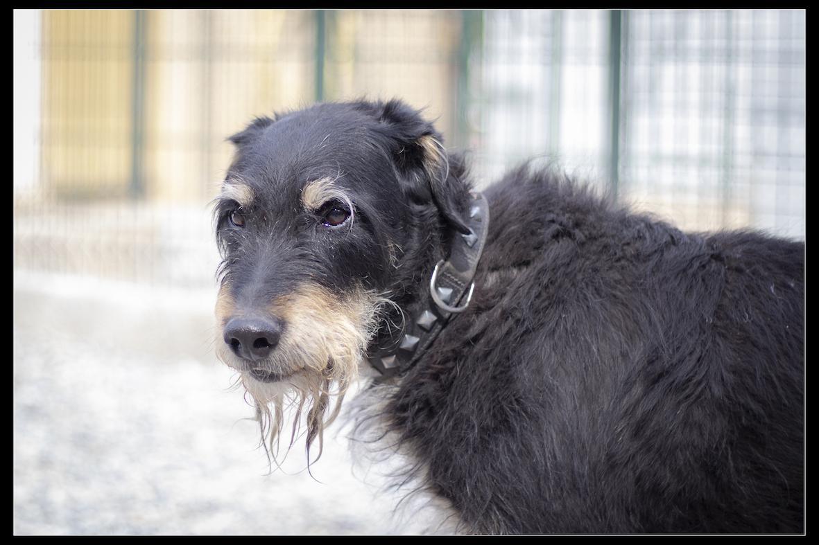 UNOo - x griffon 12 ans - Refuge de Digne (04) Refuge-chiens-uno-0261